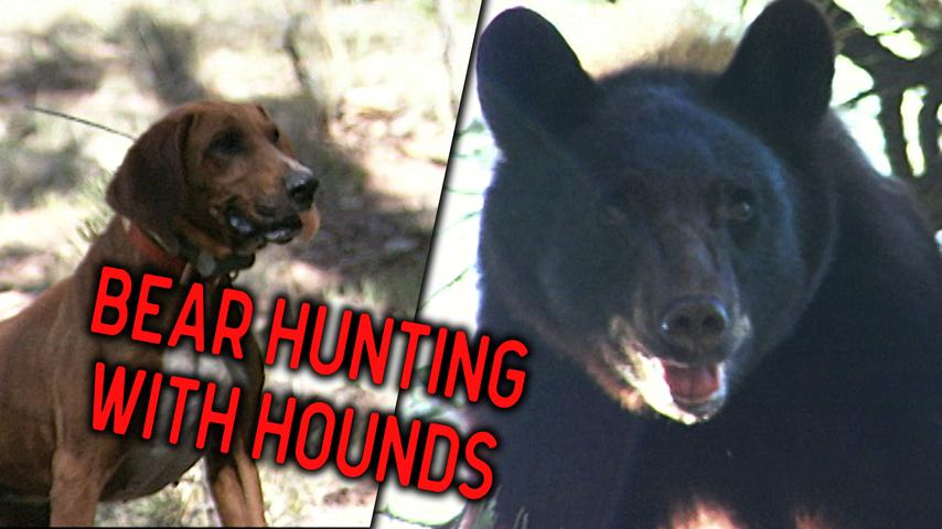 How to Hunt Black Bears with Dogs